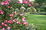 Fourth of July roses in the James P. Kelleher Rose Garden, Boston, Massachusetts, USA