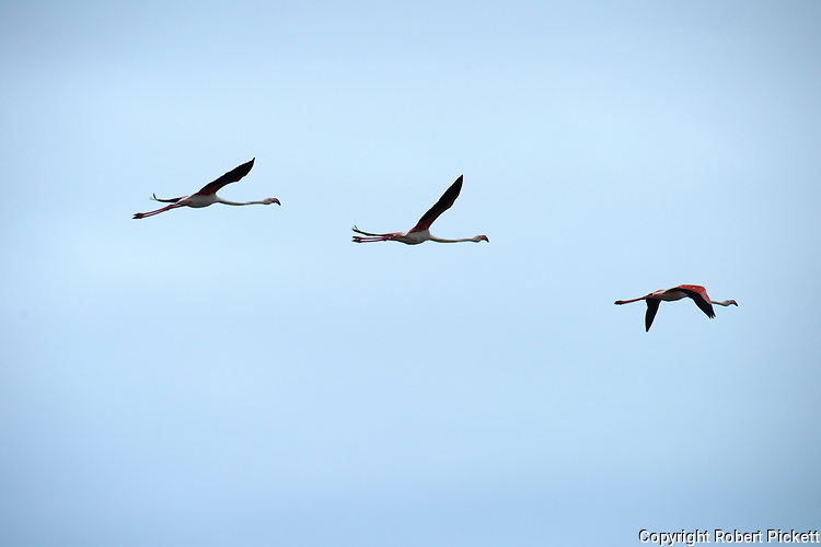 Greater Flamingos, Phoenicopterus roseus, in flight, flying, Ria Formosa East, Algarve, Portugal