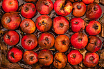 Rotting apples in rows with fall leaves