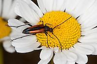 Kleiner Schmalbock, Gemeiner Schmalbock, Schwarzschwänziger Schmalbock, Weibchen, Blütenbesuch, Stenurella melanura, Strangalia melanura