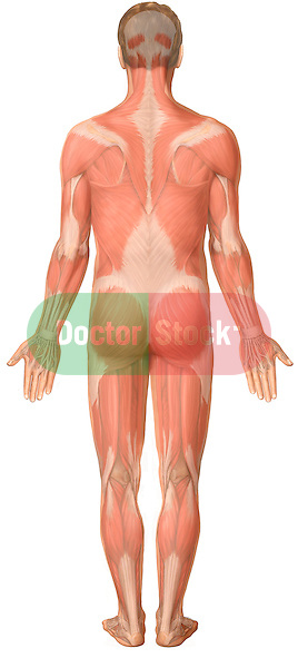 anatomical full body orientations Posterior Male Figure with Muscles