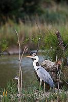 France/13/Bouches du Rhone/Camargue/Parc Naturel Régionnal de Camargue/Saintes Maries de la Mer: Couple de  Hérons cendrés au  Parc ornithologique du Pont de Gau