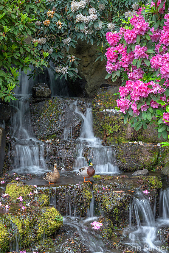 ORPTC_D107 - USA, Oregon, Portland, Crystal Springs Rhododendron Garden, Mallard ducks (male and female pair) on rocks next to waterfall and blooming rhododendron.
