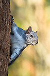 Western gray squirrel, coast mountain range, Oregon