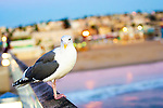 Seagull at sunset in Hermosa Beach, California.