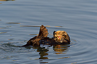 Southern Sea Otter (Enhydra lutris) yawning and stretching webbed hind foot.  Central California Coast.