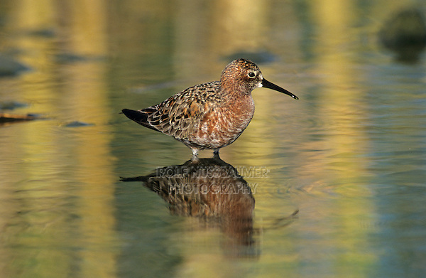 Curlew Sandpiper, Calidris ferruginea, adult, Samos, Greek Island, Greece, Europe