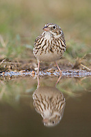 Vesper Sparrow, Pooecetes gramineus, adult drinking, Uvalde County, Hill Country, Texas, USA
