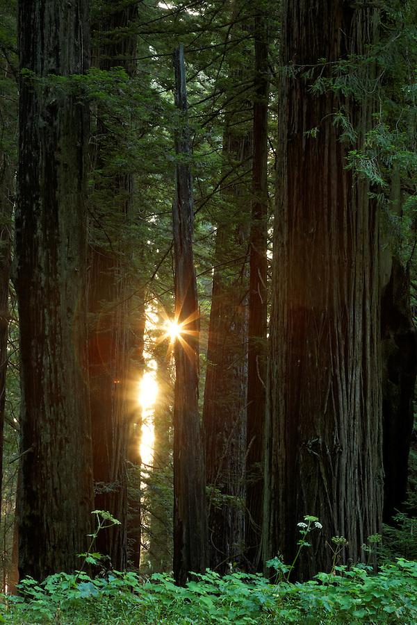 Sunshine through redwood forest, Del Norte Coast Redwoods State Park, Del Norte County, California