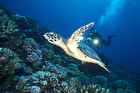 Hawksbill Turtle, Eretmochelys imbricata, with videographer in background, Rangiroa Atoll, Tuamotus, French Polynesia, Pacific Ocean