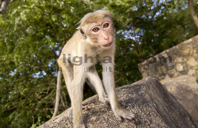 CAVE-TEMPLES, DAMBULLA, MATALE DISTRICT, CENTRAL PROVINCE, SRI LANKA...TOQUE MONKEY, CEYLON-HUTAFFE, (MACACA SINICA),  MEERKATZENARTIGE, OLD WORLD MONKEYS, CERCOPITHECIDAE, 7/5 030,.NATURE, WILDLIFE, MAMMALS, ANIMAL, FAUNA, ...©Photo: Paul J.Trummer, Mauren / Liechtenstein www.travel-lightart.com