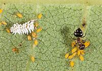 Ant attending Oleander aphids on milkweed as dusky ladybug larva eats them; Aphis nerii, Crematogaster sp.,Scymnini; beneath milkweed leaf; PA, Philadelphia, Schuylkill Center