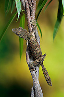 HENKEL'S LEAF-TAILED GECKO (Uroplatus henkeli) is a member of the Malagasy leaf-tail group native to the humid forests of Eastern and Northern Madagascar. Leaf-tails mimic tree bark, having a flattened tail and cryptic colouration to help them blend in with their surroundings. Captive.