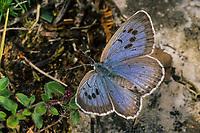 Quendel-Ameisenbläuling, Thymian-Ameisenbläuling, Schwarzfleckiger Ameisenbläuling, Phengaris arion, Maculinea arion, Glaucopsyche arion, large blue, L'Azuré du serpolet, Bläulinge, Lycaenidae, blues