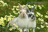 Kim, EASTER, OSTERN, PASCUA, photos,+Young rabbits among Spring primrose flowers.,++++,GBJBWP41622,#e#