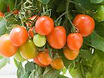 Tumbling Tom Red Tomato