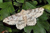 Schlehenhecken-Grauspanner, Ascotis selenaria, Boarmia selenaria, giant looper, mugwort looper, Boarmie lunulée. Spanner, Geometridae, looper, loopers, geometer moths, geometer moth