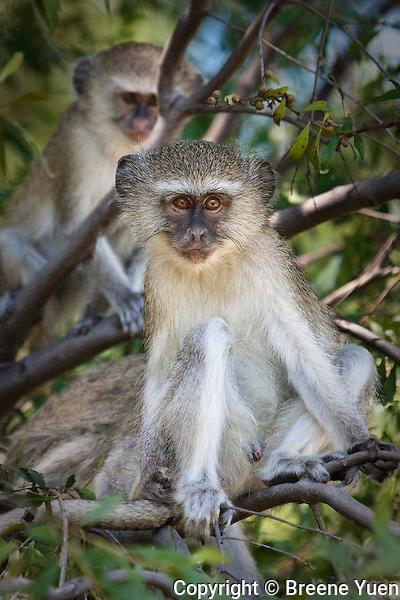 A pair of monkeys keep a watchful eye on tourists, Okavango Delta, Botswana, March 2008