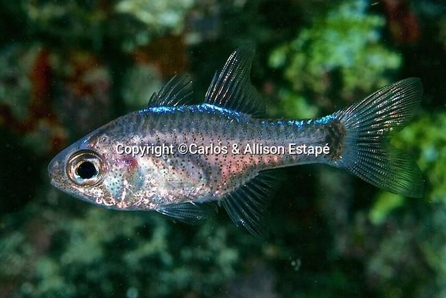 Phaeoptyx pigmentaria, Dusky cardinalfish, Florida Keys