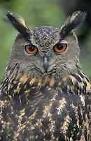Uhu, Portrait, Bubo bubo, eagle owl