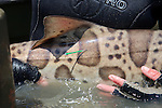 Leopard Shark With Tag