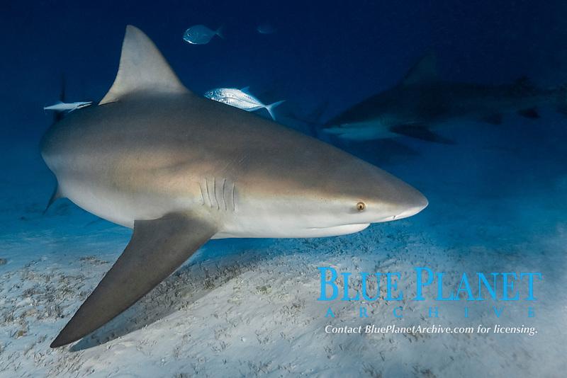 Bull Shark, Carcharhinus leucas. A mature female at Playa del Carmen, Mexico, Caribbean Sea.