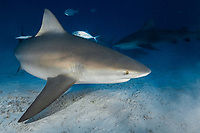 Bull Shark, Carcharhinus leucas. A mature female at Playa del Carmen, Mexico, Caribbean Sea.