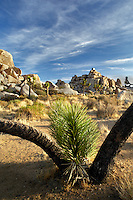 Joshua trees in Joshua Tree National Park. California