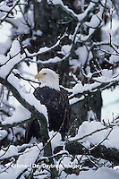 00807-00618 Bald eagle (Haliaeetus leucocephalus) in snow, Chilkat River, Haines   AK