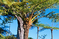 Portugal, Madeira, Baumfarn an der Nordküste