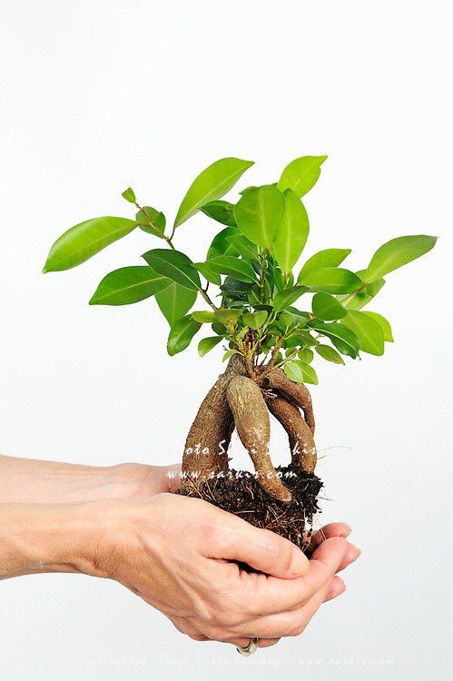 Ginseng Ficus bonsai (Ficus retusa) in woman's hands, on white background