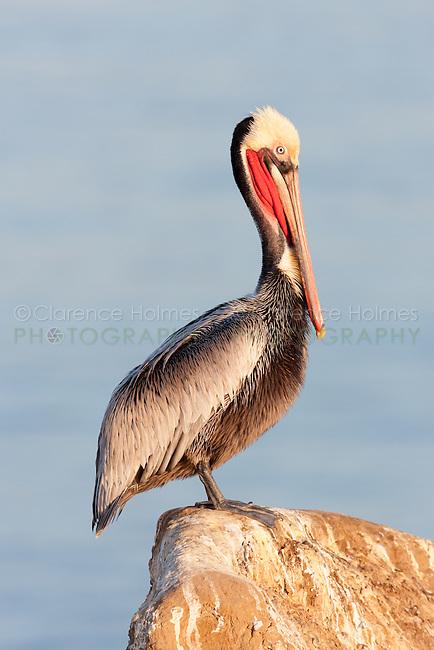 California Brown pelican (Pelecanus occidentalis) standing on a cliff over the Pacific ocean