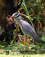 Adult yellow-crowned night-heron with crayfish