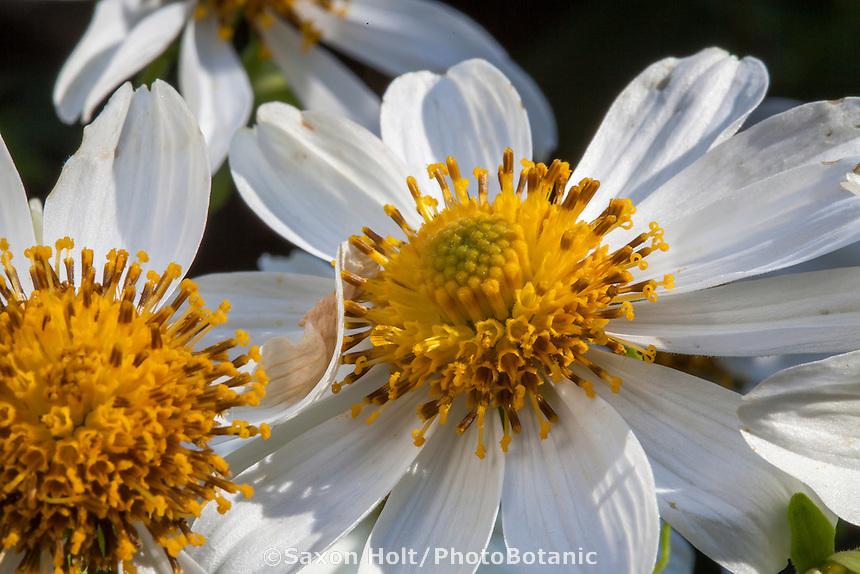 Montanoa grandiflora, Tree Daisy flowers in San Francisco Botanical Garden
