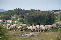 Milk sheep, Chandebrito, Vigo, Galicia, Spain. The goat protects the sheep by eating plants not poisonous to them but poisonous to sheep......Copyright..John Eveson,.Dinkling Green Farm,.Whitewell,.Clitheroe,.Lancashire..BB7 3BN.Tel. 01995 61280.Mobile 07973 482705.j.r.eveson@btinternet.com.www.johneveson.com