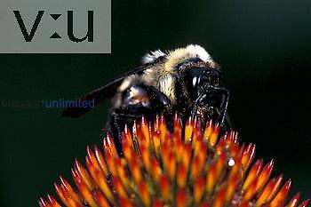 Golden Northern Bumble Bee ,Bombus fervidus, on coneflower Pennsylvania, USA