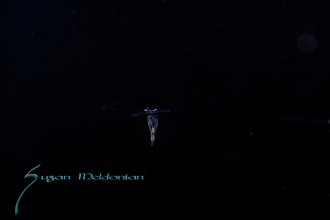 Pteropod, Hyalocylis striata