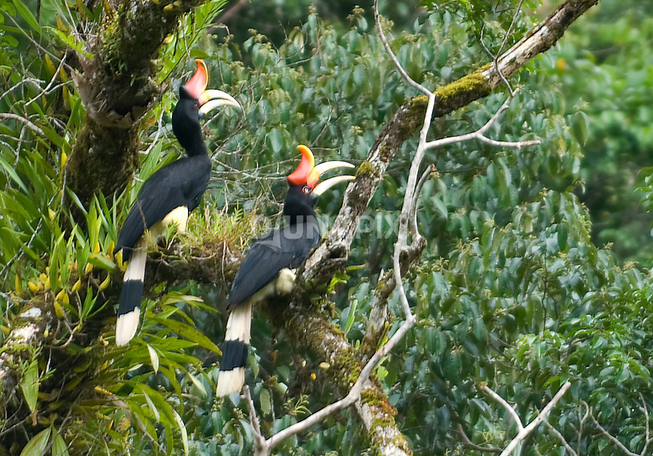 A pair of Rhinocerous hornbills in Kerinci Seblat National Park, Sumatra. As one of largest birds of Asian forests, the barks and wing flaps of Rhinoceros hornbills  are often heard, but getting a good view is difficult. The birds mate for life and are often seen in pairs.