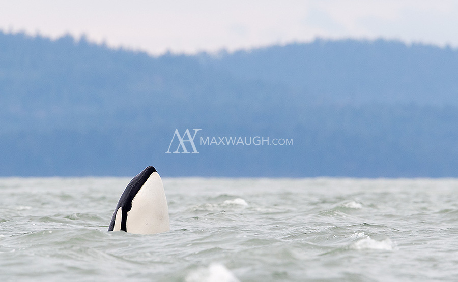 My first time seeing an orca spy hopping.
