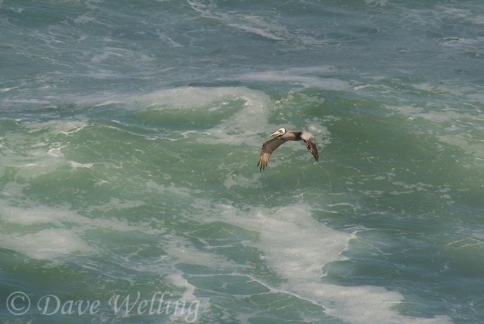 570000005 a wild federally endangered brown pelican pelecanus occidentalis soar over the breaking surf of the pacific ocean at torrey pines state preserve la jolla california