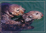 Sea otters mating, FB 384