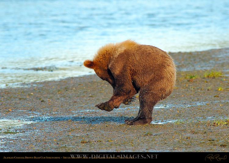 Alaskan Coastal Brown Bear Cub Stretching, Silver Salmon Creek, Lake Clark National Park, Alaska