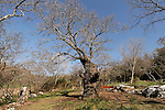Israel, the Lower Galilee. Mount Tabor Oak (Qyercus Ithaburensis) tree in Tivon