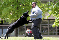 NWA Democrat-Gazette/DAVID GOTTSCHALK   University of Arkansas Police Department K9 handler officer Joe Copelin wears a protection suit Tuesday, May 2, 2017, as he participates in an apprehension  drill with K9 officer Orry. The department hosted a Dunk a Cop! and demonstration event to benefit the K9 unit. The UAPD K-9 division plays and active role in keeping students, faculty, staff and fans safe on campus. In addition to their regular patrol duties, Dingo, Orry, Leah and Oakley and their handlers provide standard explosives security and narcotics detection for the University of Arkansas.
