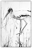 Wood Stork, Photographed on TMAX 3200 black and white film, Merritt Island, Florida, 1995, (Photo by Brian Cleary/bcpix.com)