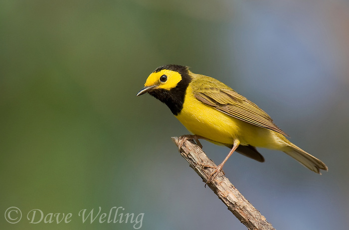 591920003 a wild male hooded warbler setophaga citrina - was wilsonia citrina - perches on a dead branch in hardin county texas united states
