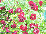 A picture of a beautiful rose bush