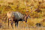 Bull Elk at Sunrise, Lower Mammoth, Yellowstone National Park, Wyoming