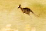 Eastern Grey Kangaroo (Macropus giganteus) sub-adult male hopping in grassland, Mount Taylor Nature Reserve, Canberra, Australian Capital Territory, Australia