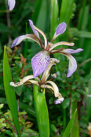 STINKING IRIS Iris foetidissima (Iridaceae) Height to 60cm<br /> Tufted perennial of scrub and woodlands, mostly on calcareous soils. FLOWERS are 7-8cm across, purplish and veined (May-Jul). FRUITS are green, oblong and 3-sided, splitting to reveal orange seeds. LEAVES are dark green and sword-shaped, with an unpleasant smell. STATUS-Locally common only in S England and S Wales.